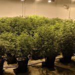 Queen Hemp Company Review Female Hemp Plants